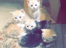 قطط شيرازي امريكي عمرهم 3 شهور