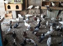 طيور للبيع يوجد شمسي ب 7 حب رمان ب4 و يوجد أنواع كوشيات حبه بريالين