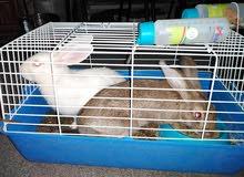 بيع جوز أرانب