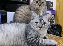 قطط جميله للبيع cute cat for sale
