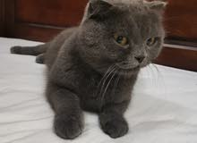 قطه سكوتش حامل