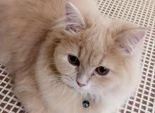 قطة للتبني - Cat for adoption