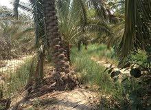 بستان زراعي في بالبصره ابي الخصيب نهر خوز