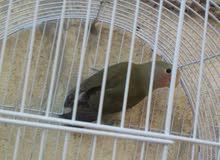 طيور روز فشر الحبه