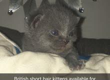 للبيع قطط بريتش وسكوتيش شورت هير بيور العمر ثلاث اسابيع