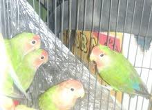طيور روز للبيع انثايتين مع ثلاث حبات لحالهم