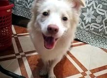 كلب لولو فوكس فرنساوي