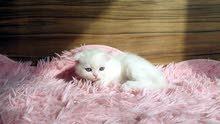 Scottish fold girl rare snow-white color