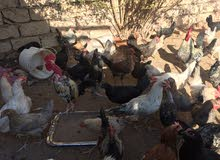 دجاج للبيع (عتاتيق-دجاج-ديوك)