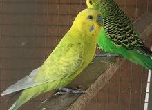 طيور البادجي محليات