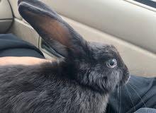 ارنب انثى.