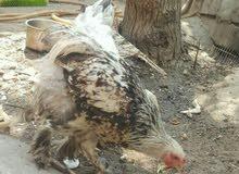 دجاجه وديج براهما العمر 6اشهر الديج شوكي والدجاجه دكتوره