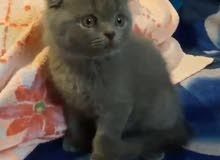 قطه سكوتيش فولد للبيع // Scottish fold cat for sale