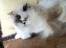 قطة بج فيس انثئ