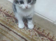 قطط شيرازي عمرهم 35 يوم للبيع
