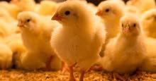 broiler chicks Ross&Cobb Local , صوص برويلر كوب&روز محلي