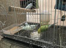 زوجين طيور حب + قفص