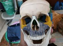 human skull جمجمة
