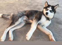كلب هاسكي عمره خمس شهور مطعم فيها تفاوض ع سعر