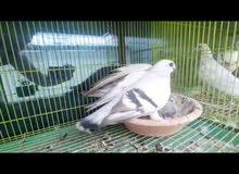 Bozz breeding pair with chick