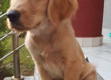 pure golden retriever puppy