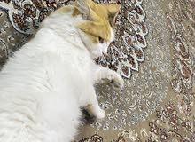 قط شيرازي انثى  for sale cat shiraz