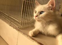 قطة تركيا لبيع