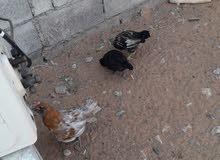 دجاج محلي و دجاج حبب عماني