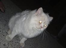 قطة شراز أفطس