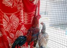 للبيع طير باكستاني مستورد. ودجاجه