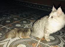 قطة شيرازية للبيع جميلة واليفة