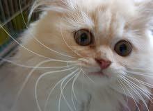 قطط عمر 3 شهر شيرازى بيور