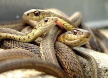 صيد جميع انواع الثعابين والزواحف والحيوانات المفترسه
