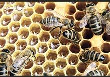 مطلوب نحل عسل للبيع