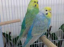 زوج طيور حب رينبوات