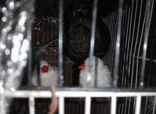 عصافير جنه بيضات مع القفس