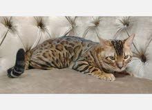 قطط البنقل الكشمري للانتاج فقط
