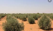 للبيع مزرعه زتون 15 فدان واجهه على طريق الإسماعيلية القاهرة الصحراوى 100 متر