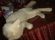 قط شيرازي ذكر للبيع