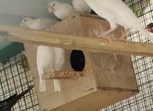 للبيع طيور جاوا محليات