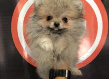 for sale Pomeranian dog female from Russia