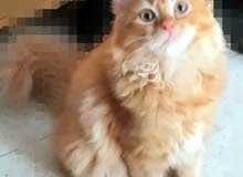قطه للبيع cat for sale