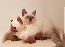 Chocolate lynx point british short hair kitten