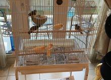 للبيع طيور كناري زوج منتج جدا مع 4 أفراخ عمر 3 اسابيع و5 كبيرة منهم مغردة وقفصين كبيرين مع ستاندز