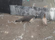 أنثى طاووس هندي