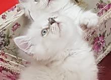 للبيع قطط هملايا أصلي مستوى جميل بصحة ممتازة 1500 للقط الواحد