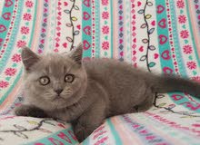British blue kitten with pedigree
