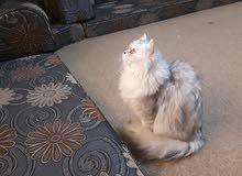 قطة شيرازي شانشيلا