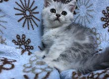 British short hair blue silver tabby girl