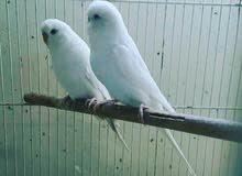 طيور هند البينو
